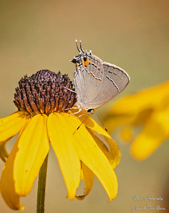 gray hairstreak_TN26046