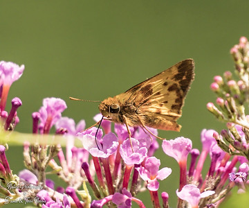 zabulon skipper_TN27226