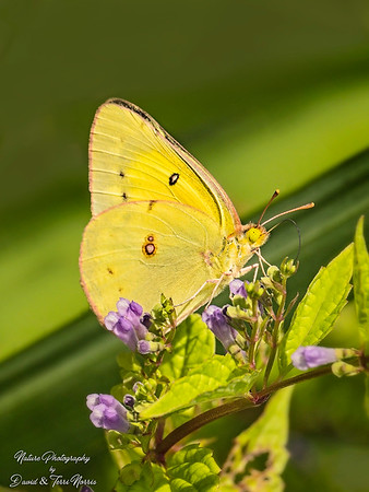 orange sulphur_TN27003