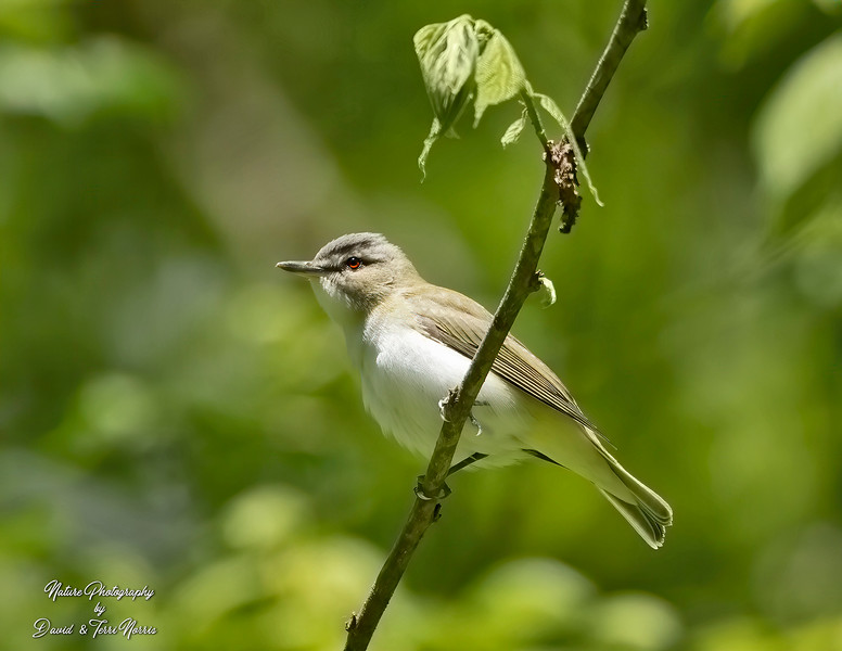 red eyed vireo 120A6242