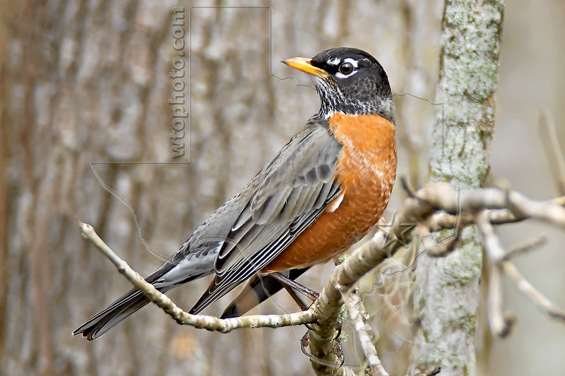 American Robin,<br /> Brazos Bend State Park, Texas