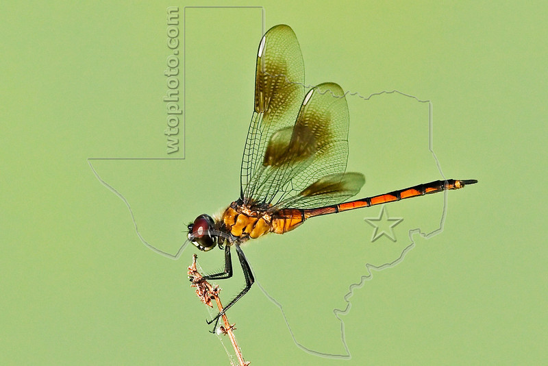 Four-spotted Pennant Dragonfly (Brachymesia gravida), Female,<br /> Brazos Bend State Park, Texas