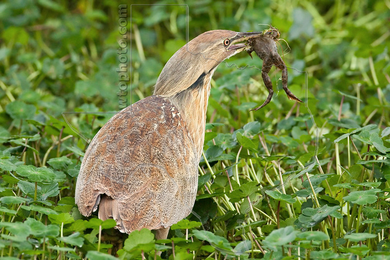 American Bittern Eating Frog,<br /> Brazos Bend State Park, Texas