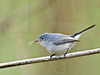 Blue Gray Gnatcatcher,<br /> Brazos Bend State Park, Texas