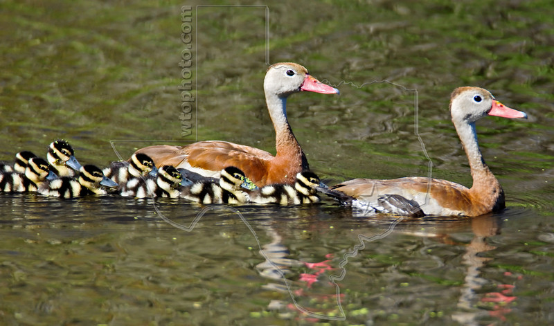 Black-bellied Whistling Ducks and Chicks<br /> Brazos Bend State Park, Texas