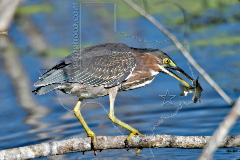 Green Heron, Eating Fish,<br /> Brazos Bend State Park, Texas