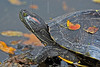 Red-Eared Slider Turtle,<br /> Brazos Bend State Park
