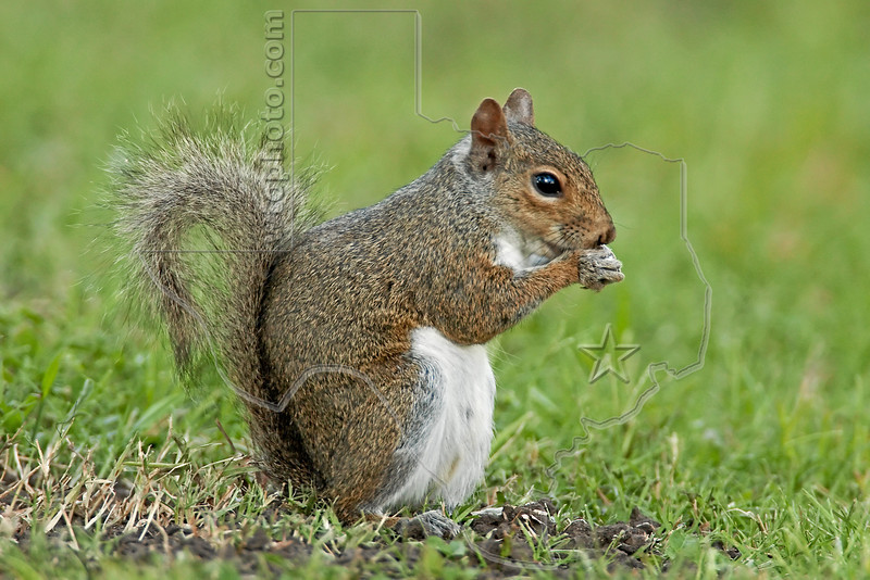 Eastern Gray Squirrel,<br /> Brazos Bend State Park, Texas