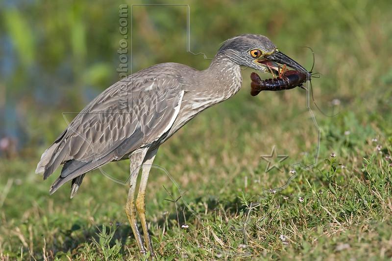 Yellow-Crowned Night Heron, Juvenile,<br /> Eating Crayfish,<br /> Brazos Bend State Park, Texas