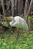 White Egret, Eating Fish,<br /> Brazos Bend State Park, Texas