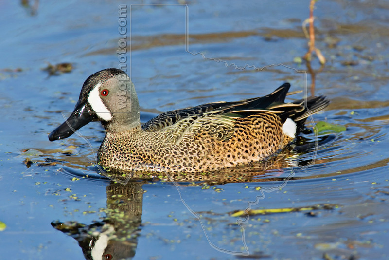 Blue-winged Teal,<br /> Brazos Bend State Park, Texas