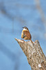 Carolina Wren,<br /> Brazos Bend State Park, Texas