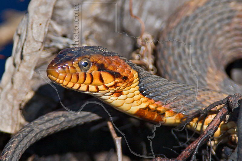 Broad-banded Water Snake,<br /> Brazos Bend State Park, Texas