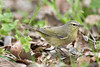 Ruby-crowned Warbler<br /> Brazos Bend State Park, Texas
