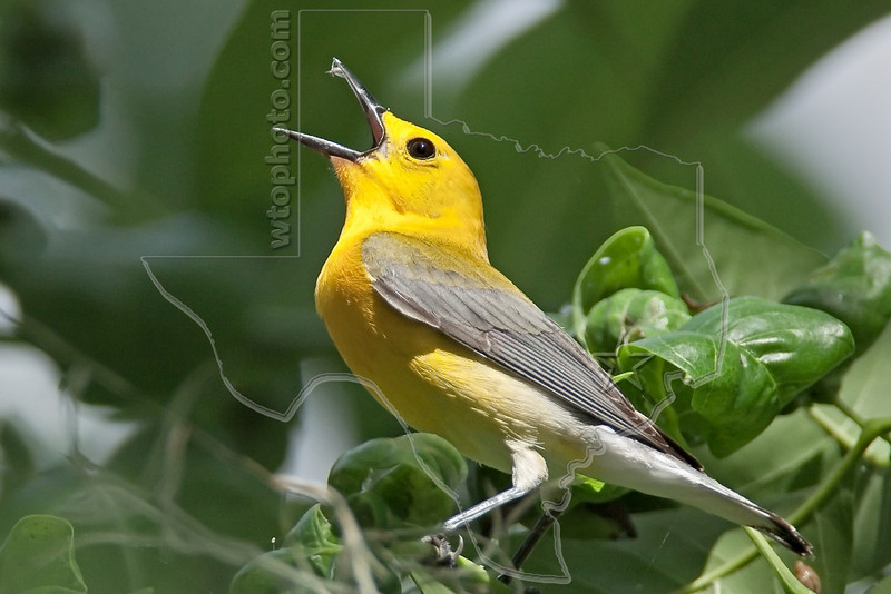 Prothonotary warbler,<br /> Brazos Bend State Park, Texas
