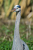 Great Blue Heron, Portrait<br /> Brazos Bend State Park, Texas