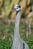 Great Blue Heron, Portrait<br /> Brazos Bend State Park, Texas