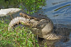 American Alligator, Eating an Alligator,<br /> Tail Separated from Body,<br /> Brazos Bend State Park, Texas