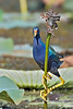 Purple Gallinule,<br /> Brazos Bend State Park, Texas