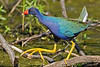 Purple Gallinule,<br /> Brazos Bend State Park, Texas