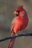 Northern Cardinal,<br /> Brazos Bend State Park, Texas