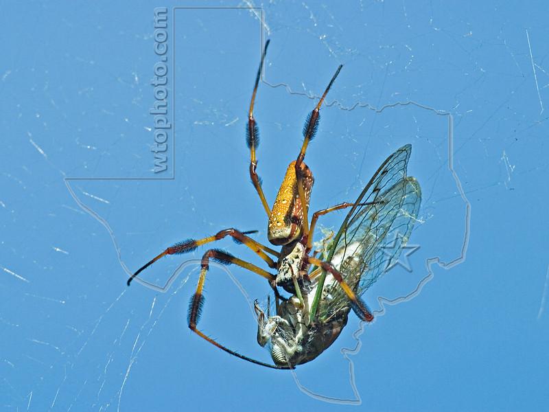Golden Silk Orbweaver and Cicada,<br /> Brazos Bend State Park, Texas