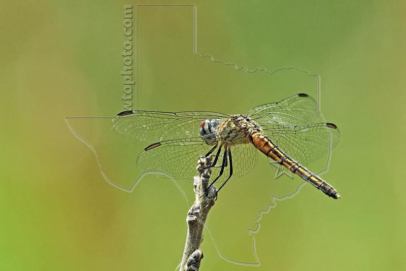 Blue Dasher Dragonfly, Female (Pachydiplax longipennis), <br /> Nordheim, Texas