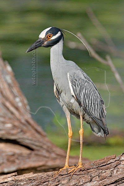 Yellow-crowned Night Heron,<br /> Brazos Bend State Park, Texas