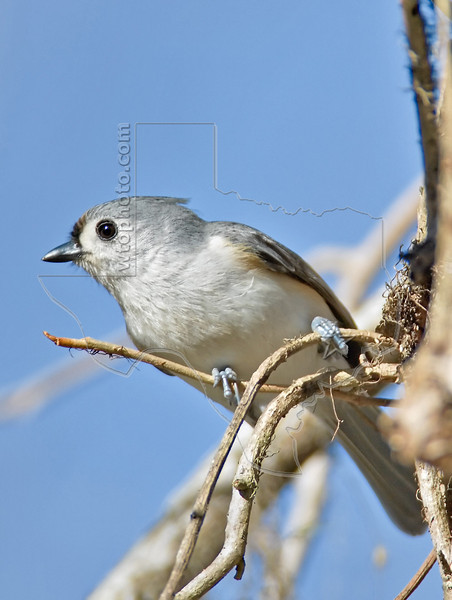 Tufted Titmouse,<br /> Brazos Bend State Park, Texas