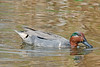 Green-winged Teal Duck,<br /> Brazos Bend State Park, Texas