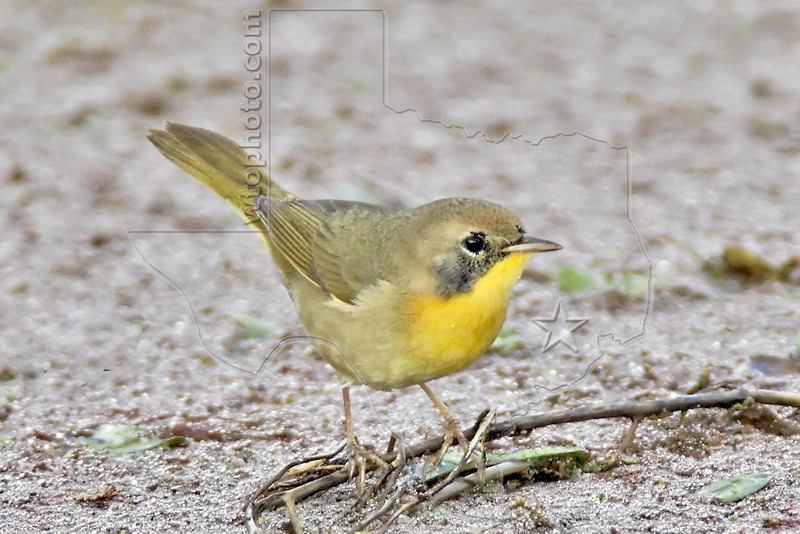 Common Yellowthroat Warbler, First Winter Male,<br /> Brazos Bend State Park, Texas