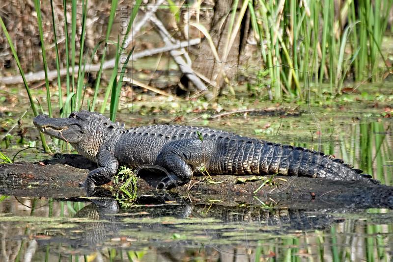 American Alligator<br /> Brazos Bend State Park, Texas