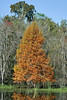 Bald Cypress Tee, Fall Color,<br /> Brazos Bend State Park, Texas