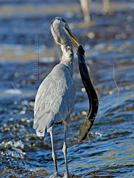 Great Blue Heron Eating Western Lesser Siren,<br /> Brazos Bend State Park, Texas