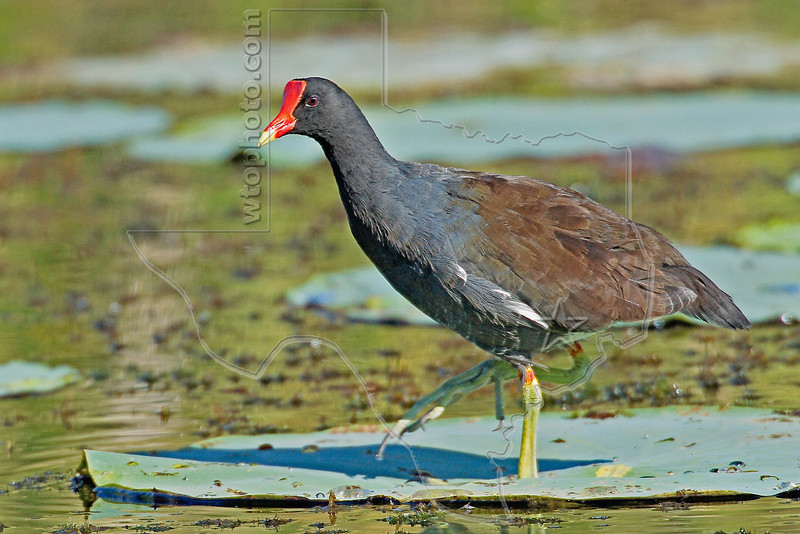 Common Moorhen,<br /> Brazos Bend State Park, Texas