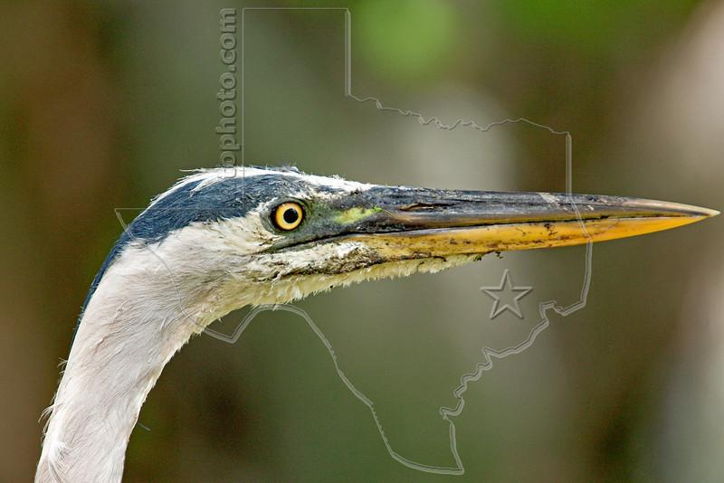 Great Blue Heron, Portrait,<br /> Brazos Bend State Park, Texas