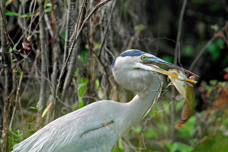 Great Blue Heron and Catfish,<br /> Brazos Bend State Park, Texas