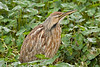 American Bittern,<br /> Brazos Bend State Park, Texas