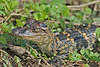 BabyAmerican Alligator,<br /> Brazos Bend State Park, Texas