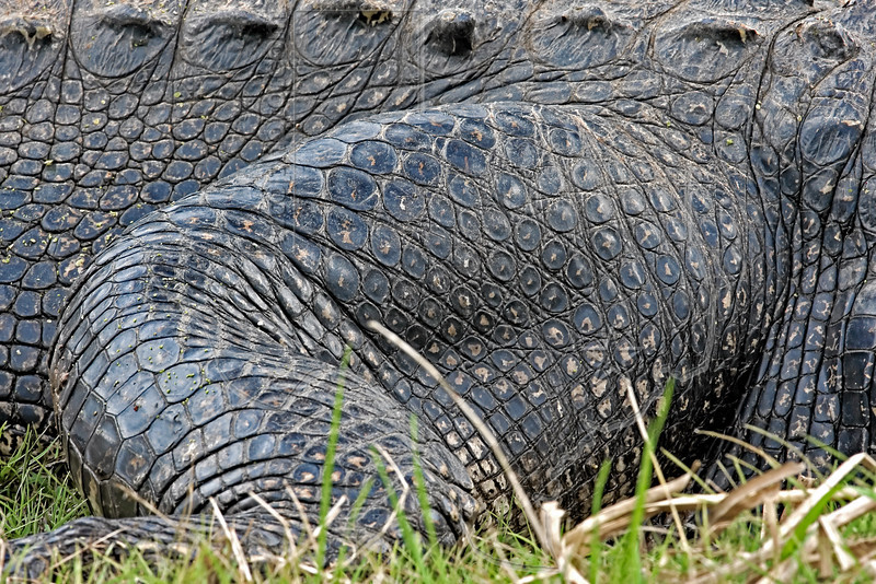 American Alligator,<br /> Brazos Bend State Park, Texas