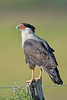 Crested Caracara<br /> Brazos Bend State Park, Texas