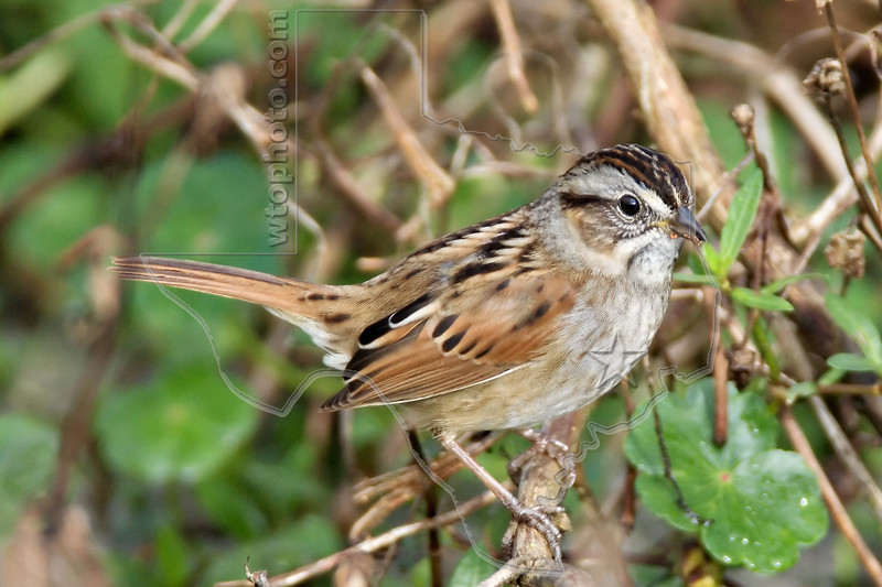 Swamp Sparrow,<br /> Brazos Bend State Park, Texas