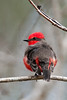 Vermillion Flycatcher, Male,<br /> Brazos Bend State Park, Texas