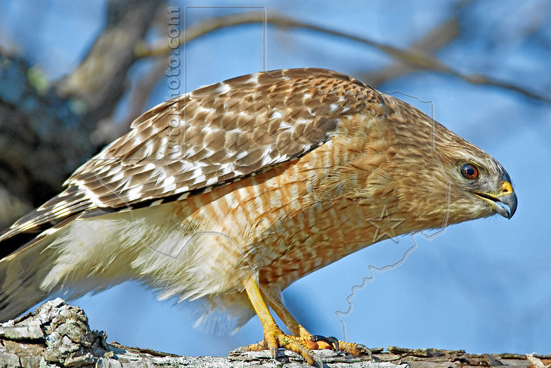 Red-shouldered Hawk,<br /> Brazos Bend State Park, Texas