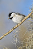 Carolina Chickadee,<br /> Brazos Bend State Park, Texas