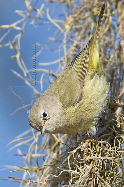 Tennessee Warbler,<br /> Brazos Bend State Park, Texas