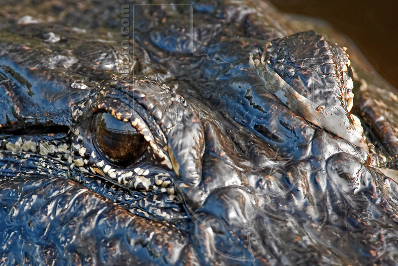 American Alligator, <br /> Brazos Bend State Park, Texas