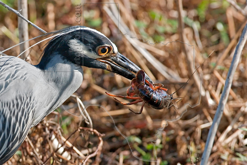 Yellow-crowned Night Heron, Eating Crayfish,<br /> Brazos Bend State Park, Texas