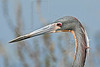 Tri-colored Heron, Portrait,<br /> Brazos Bend State Park, Texas