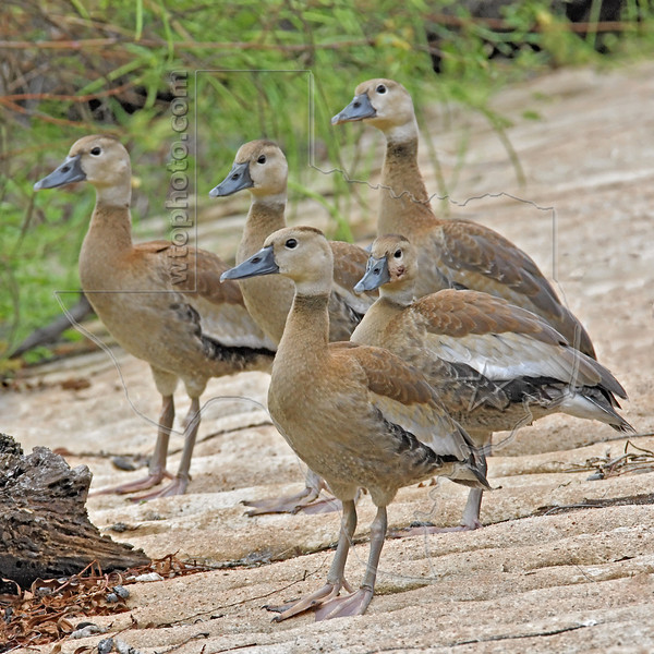 Black-bellied Whistling Ducks, Juveniles,<br /> Brazos Bend State Park, Texas